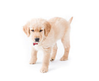 Retriever Puppy Standing Royalty Free Stock Photo