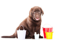 Retriever puppy with three buckets Stock Photo