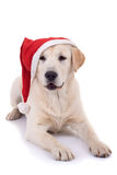 Retriever puppy wearing a santa hat Royalty Free Stock Photo