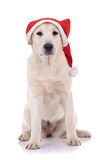Retriever puppy wearing a santa hat Royalty Free Stock Image