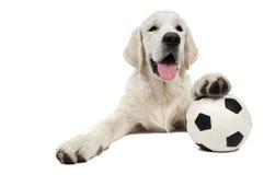 retriever purebread собаки золотистый стоковое фото rf