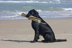Retriever revestido liso com esteira da praia Imagem de Stock Royalty Free