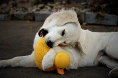 Free Retriever Rubber Ducky Stock Photography - 83975042