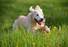 Retriever running Stock Images