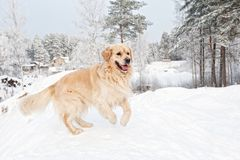 Free Retriever Running In The Snow Stock Image - 12741841