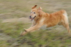 Retriever Running with Slobber Royalty Free Stock Photos