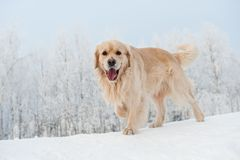 Retriever running in the snow Stock Photos