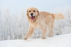 retriever running in the snow Stock Images