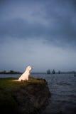 retriever s ακρών χρυσό ύδωρ συνεδρί&a Στοκ Εικόνα