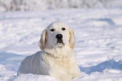 Retriever in snow Stock Photography