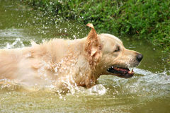 Retriever splash. Light colored retriever splashing in shallow water in a lake Royalty Free Stock Photos