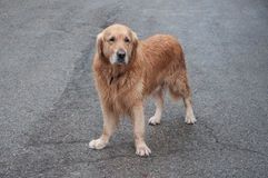 Retriever standing on the asphalt. In high quality Stock Photo
