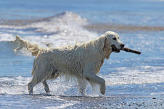 Retriever with a Stick Royalty Free Stock Photography
