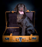 Retriever on travel. Flat Coated Retriever on travel Stock Images