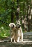 Retriever twee in het park Stock Fotografie