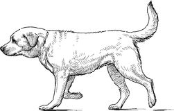 Retriever. Vector drawing of the walking retriever Royalty Free Stock Photos