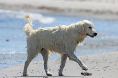 Retriever walking on the Beach Stock Images