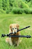 Retriever which keeps tripod Stock Photo