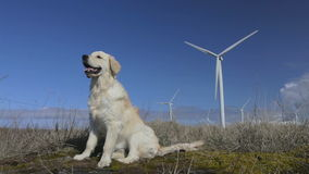 Retriever and windmills. stock footage