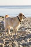Retrieverhond omhoog tegen zonnige de wintersdag wordt aangestoken op strand dat Royalty-vrije Stock Afbeeldingen