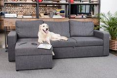 Retrieverhund, der auf Sofa mit Fernsehfernbedienung, -zeitung und -brillen liegt Stockfotografie