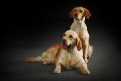 2 retrievers собак золотых Стоковые Изображения RF