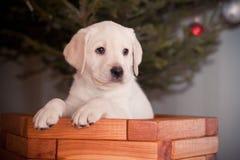 Retrievers щенка золотые стоковая фотография