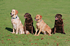 Retrievers Royalty Free Stock Images