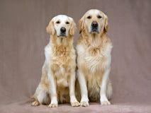 Retrievers dourados adultos bonitos Imagem de Stock