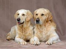 Retrievers dourados adultos bonitos Foto de Stock