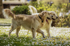 Retrievers playing in park Stock Photography