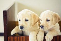 Retrievervalp för två Labrador Royaltyfri Fotografi
