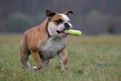 Retrieving bulldog Royalty Free Stock Images