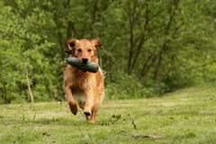 Retrieving dog Royalty Free Stock Photos