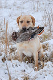 Retrieving a duck. Yellow Labrador Retriever in the snow holding a duck Royalty Free Stock Image