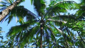 Retrieving oil from the palmtree on Java Indonesia. Asia stock video