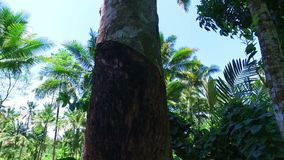 Retrieving oil from the palmtree on Java Indonesia. Asia stock video footage