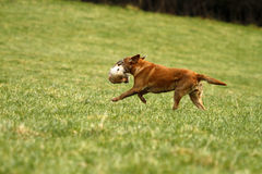 Retrieving Trained Labrador Royalty Free Stock Photography