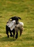 Retrieving Trained Labrador Stock Photography