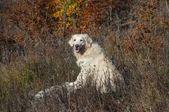 retriver de oro del perro Fotos de archivo