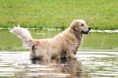 Retriver dorato che posa nell'acqua Fotografia Stock Libera da Diritti