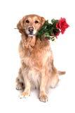Retriver dorato con il fiore in bocca Immagine Stock