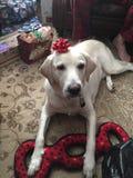 Retriver pies świętuje Christmass Zdjęcia Royalty Free