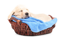 Retriver puppy dog sleeping in a basket Royalty Free Stock Image