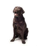 Retrivet dog Stock Images