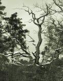 Retro albero Gnarly di b-film Fotografie Stock
