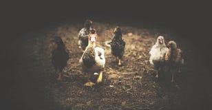 Retro- Ansicht der Ente und des Huhns Stockbilder