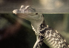 Retro Babyalligator royalty-vrije stock foto's