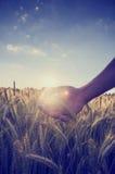 Retro- Bild einer Hand, die den Weizen über einem Feld höhlt Stockfotografie