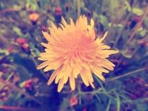 Retro blooming yellow dandelion flower royalty free stock photos